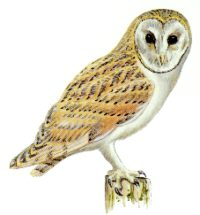 British Birds- Barn Owl