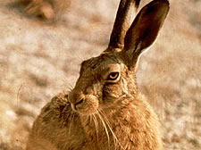 Hare close-up