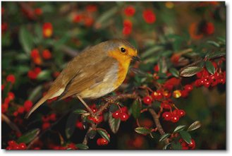 A robin in autumn